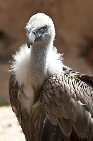 Griffon Vulture - Gyps fulvus photo