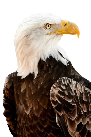 An American Bald Eagle - Haliaeetus leucocephalus - isolated on a white background   Stock Photo