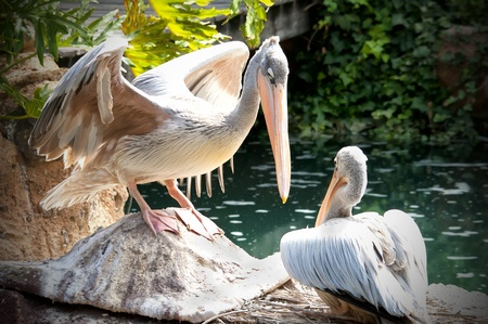 two pelicans on the water Stock Photo - 15499035