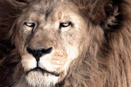 Male African Lion  Panthera leo  photo