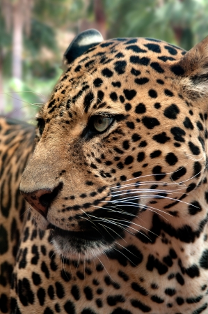 hunter playful: A closeup of a leopard in lush vegetation