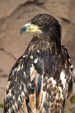 golden eagle close up  photo