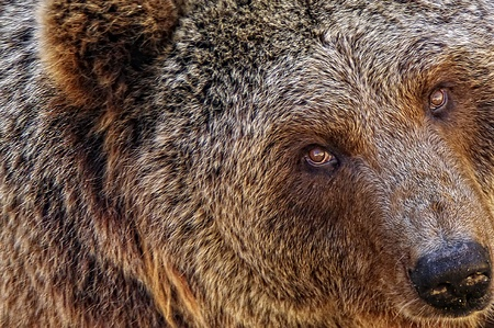close up portret of a brown bear Stock Photo