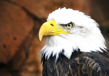 Golden Eagle head in profile  photo