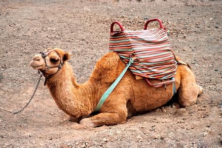 cartage: beautiful camel in the Canarian island, Lanzarote Stock Photo