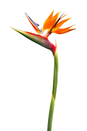 Bird of Paradise Flower on White Background