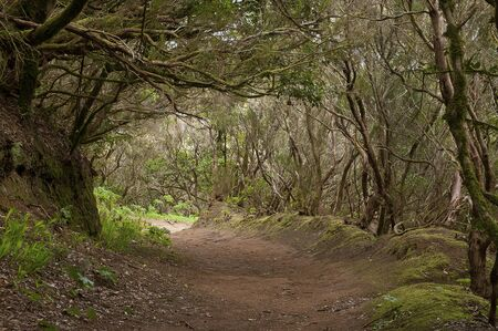 beautiful woodland: forest trail in Anaga - Tenerife - Canary Islands