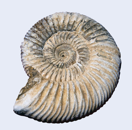 Pyretised ammonite fossil on white background