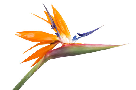 bird of paradise: Ave del paraíso Flor en el fondo blanco