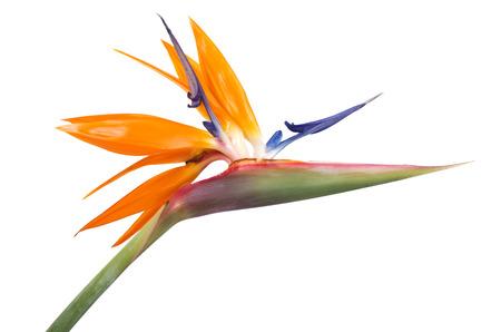Bird of Paradise bloem op witte achtergrond