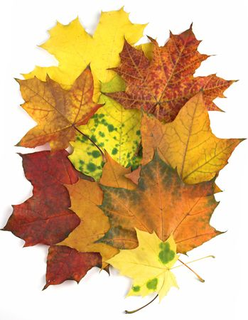 Maple leaves carpet, all autumn colours - red, orange, yellow, green.