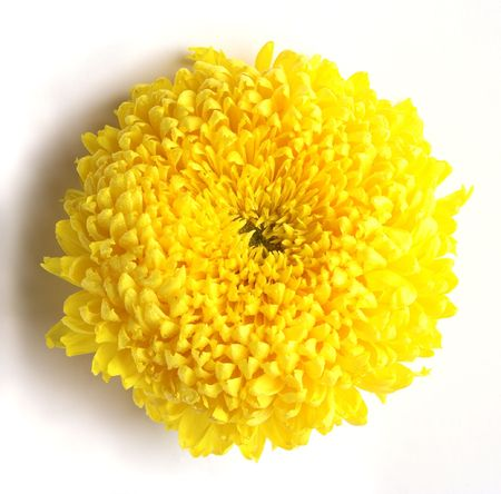 One rich yellow chrysanthemum flower on a white background Stock Photo