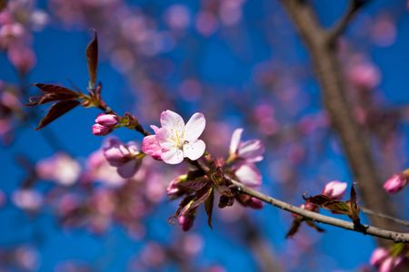 Almond branch with pinkish white blossoms against rich blue sky. photo