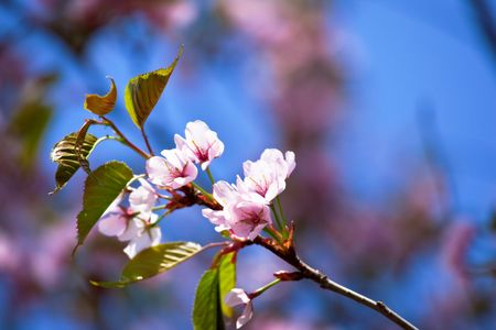 Sakura (japanese cherry) branch against rich blue sky. Stock Photo - 6821314