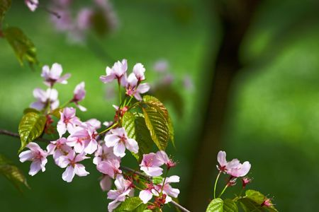 Sakura (japanese cherry) branch against green backgrounds, room for copy. Stock Photo - 6821313