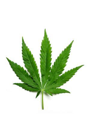 One hemp (marijuana) leaf isolated on white. photo