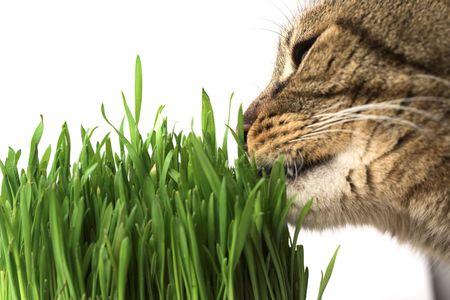 nepeta cataria: Primo piano di un gatto mangia erba verde su dof bianco, superficiale.