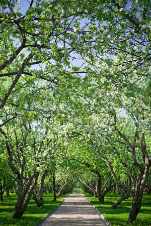Row of blooming Apple trees in a spring orchard. Stock Photo - 8999799