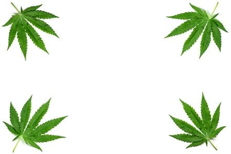 Frame formed with hemp (marijuana) leaves isolated on white. photo