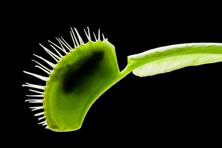 Venus flytrap (dionaea muscipula) eating a fly. Stock Photo
