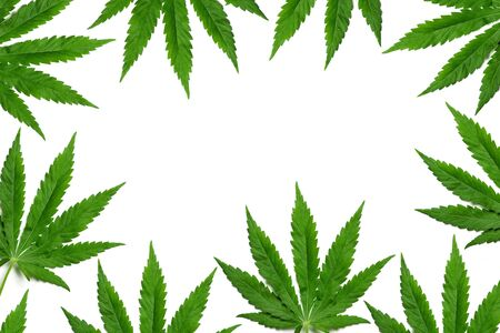 formed: Frame formed with hemp (marijuana) leaves isolated on white. Stock Photo