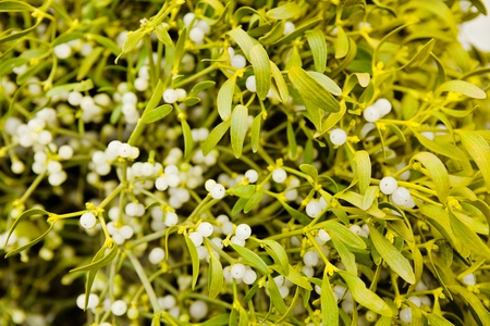 Yellow-green mistletoe plant with berries close-up.