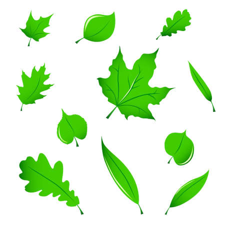 miscellaneous: Miscellaneous green leaves (maple, oak, linden and white willow), isolated on white.