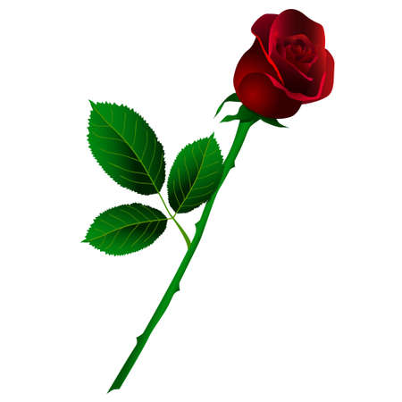 Vector illustration of deep red rose with long stem isolated on white. Vector