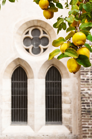 gothic window: Medieval abbey garden with ripe queen-apple against gothic window.