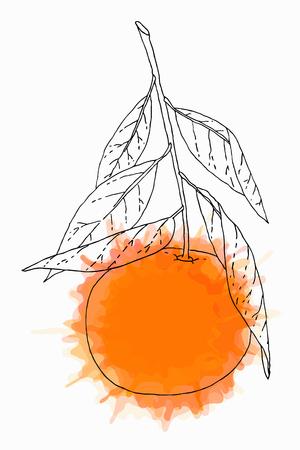 Hand drawn tangerine fruit artistic sketch. Vector illustration isolated over white.