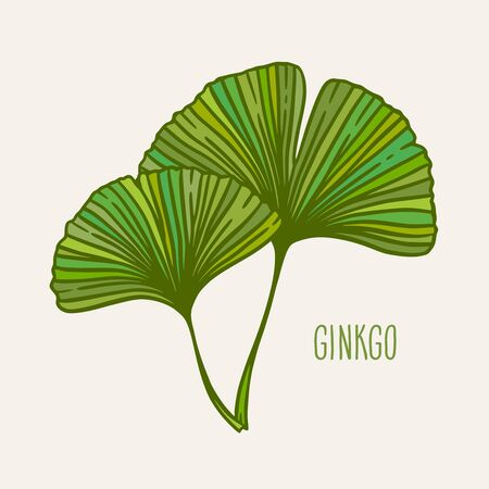Ginkgo or Gingko Biloba leaves. Nature botanical vector illustration, herbal medicine graphic in green isolated over white. Vector Illustration