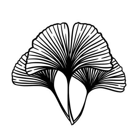 Ginkgo or Gingko Biloba leaves bunch. Nature botanical vector engraving illustration, herbal medicine graphic in black isolated over white.