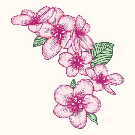 Blooming apple tree flowers. Pink vector illustration isolated over white. Hand drawn nature romantic floral spring drawing.