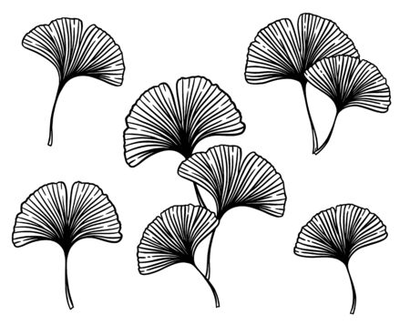 Ginkgo or Gingko Biloba leaves and branches set. Nature botanical vector engraving illustration, herbal medicine graphic in black isolated over white.