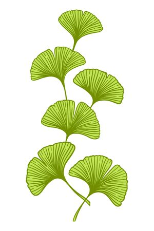 Green Ginkgo or Gingko Biloba branch with leaves. Nature botanical vector illustration, herbal medicine graphic isolated over white.