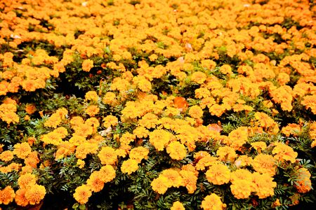 Flowerbed of bright orange autumn marigolds. Fall nature background. Banque d'images - 149586674
