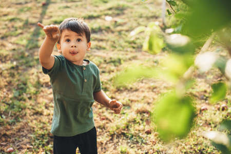 Small brunette boy trying to pick up an apple from tree is posing with hand up looking at fresh fruits