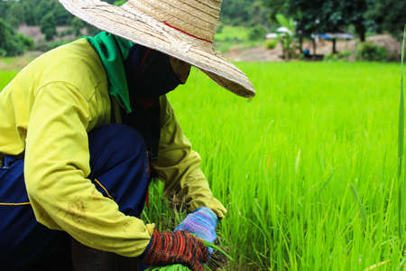 Thai farmer removal the seeding of rice for grow in rice field