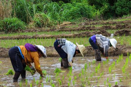 seeding: Thai famers planting the seeding of rice in farm