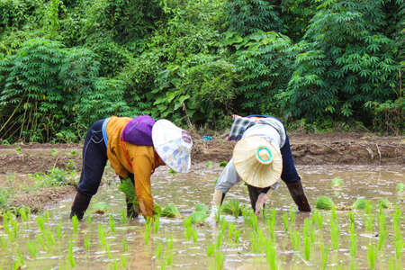 Thai famers planting the seeding of rice in farm