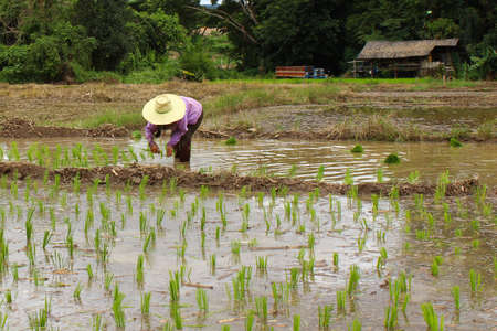 seeding: Farmer seeding rice on farmland Stock Photo