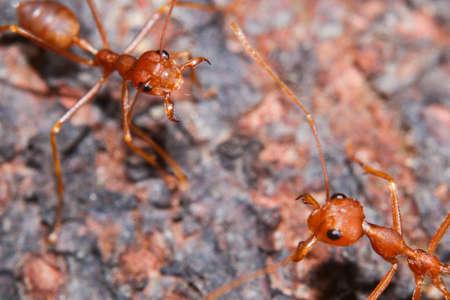 hormiga hoja: rojo hormiga de fuego Foto de archivo
