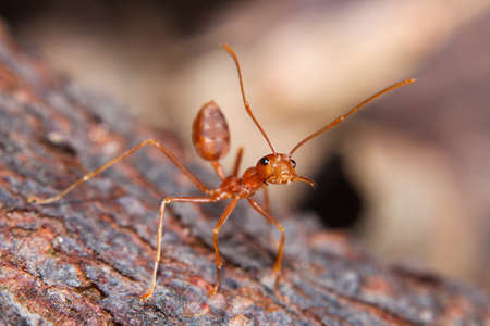 red fire ant Stock Photo