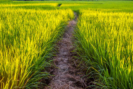another way: Ground path walk way in rice field through another farm at sunset