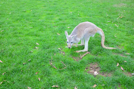 Little white kangaroo stand on green fields, close up
