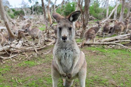 Little kangaroo stand among their family in wildlife park