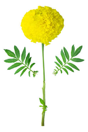 Thai beautiful yellow marigold. Separated part of the flower. Isolated on white background with clipping path. Sign of the Thailands King Rama IX Bhumibol.
