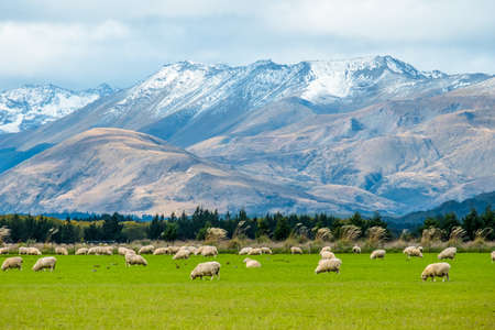 A stunning landscape scene of the agriculture in a rural area in New Zealand with a flock of sheep on a green grassland in the cloudy day. 版權商用圖片