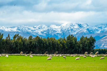 A stunning landscape scene of the agriculture in a rural area in New Zealand with a flock of sheep on a green grassland in the cloudy day. Stock Photo