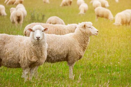 Rebaño de ovejas pastando en una granja verde en Nueva Zelanda con un cálido efecto de luz solar.